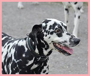 Cici33 Notfall-Dalmatinerrettung