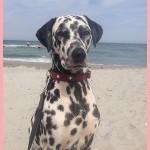 Yako18 Notfall-Dalmatinerrettung