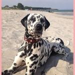 Yako19  Notfall-Dalmatinerrettung